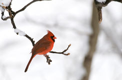 Northern Cardinal in Winter Royalty Free Stock Photos