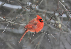 Northern Cardinal in Winter. Northern Cardinal (cardinalis cardinalis) in an apple tree in winter Stock Photos