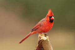 Northern Cardinal in Winter. Northern Cardinal (cardinalis cardinalis) on a stump in winter Royalty Free Stock Photo