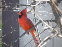 Northern Cardinal in winter royalty free stock photo