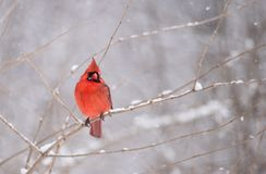 Northern Cardinal in Winter. In the snow Royalty Free Stock Photos