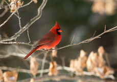 Northern cardinal in winter. A northern cardinal perched on a branch after a winter snowfall Royalty Free Stock Photography