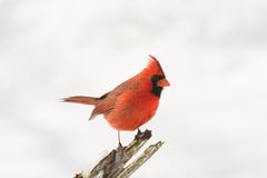 Northern cardinal in winter. A northern cardinal perched on a branch after a winter snowfall Stock Photography