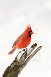 Northern cardinal in winter. A northern cardinal perched on a branch after a winter snowfall Stock Photo
