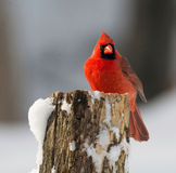 Northern cardinal in winter. A northern cardinal perched on a branch after a winter snowfall Stock Images