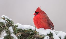 Northern Cardinal in Winter. In the snow Royalty Free Stock Images