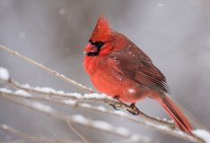 Northern Cardinal in Winter. In the snow Stock Photo