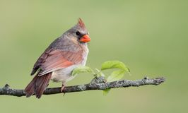 Northern Cardinal in Winter. In the snow Stock Photography