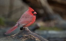 Northern Cardinal in Winter. In the snow Stock Photos
