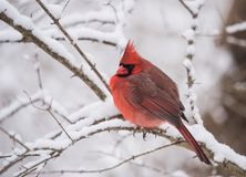 Northern Cardinal in Winter. In the snow Stock Image