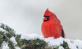 Northern Cardinal in Winter. In the snow Royalty Free Stock Photography