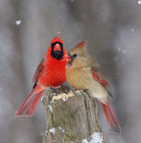 Northern Cardinals Royalty Free Stock Photo