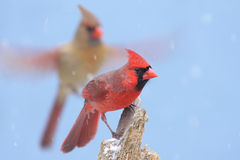 Northern Cardinals Royalty Free Stock Photos