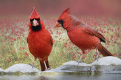 Northern Cardinals on Birdbath. I photographed these Northern cardinals on a birdbath in my backyard Royalty Free Stock Image