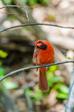 Northern Cardinals Royalty Free Stock Photography