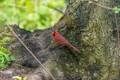 Northern Cardinals Stock Photography