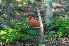 Northern Cardinals Royalty Free Stock Photos
