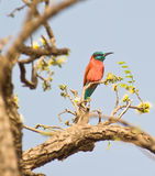 The Northern Carmine Bee-eater Stock Photography