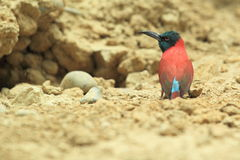 Northern carmine bee-eater Stock Photo