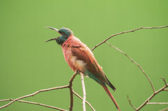 Northern carmine bee-eater Royalty Free Stock Photos