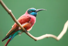 The Northern Carmine Bee-Eater (Merops nubicus). A Northern Carmine Bee-Eater (Merops nubicus). This african bird eating is made up primarily of bees and other Royalty Free Stock Photography