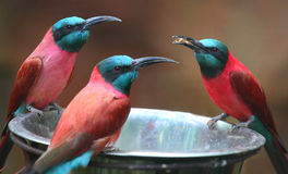 The Northern Carmine Bee-Eater (Merops nubicus). Royalty Free Stock Photos