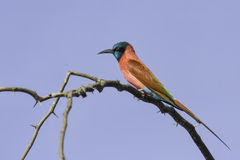 Northern Carmine Bee-eater. A pinkish-red bird with turquoise crown and throat (brighter on forehead and chin).  A black mask goes through the eye-line. Parts of Royalty Free Stock Image