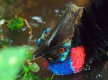 Northern cassowary Royalty Free Stock Images