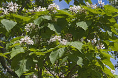 Northern catalpa tree in blossom Stock Photography