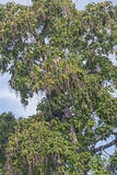 Northern catalpa tree with fruits Stock Image