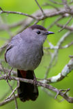 Northern Catbird Royalty Free Stock Photo
