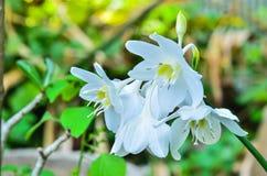 Northern christmas lily Stock Image