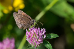 Northern Cloudywing Butterfly Royalty Free Stock Photo