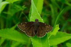 Northern Cloudywing Butterfly. Perched on a leaf. Rouge National Urban Park, Toronto, Ontario, Canada Stock Image