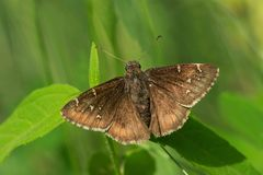 Northern Cloudywing Butterfly - Thorybes pylades. Northern Cloudywing Butterfly resting on a leaf. High Park, Toronto, Ontario, Canada Royalty Free Stock Photo