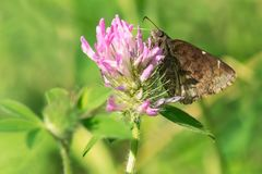 Northern Cloudywing Butterfly - Thorybes pylades. Northern Cloudywing Butterfly collecting nectar from a Red Clover flower. High Park, Toronto, Ontario, Canada Stock Photography