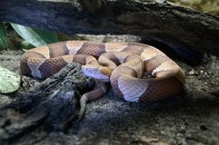 northern copperhead Stock Photos