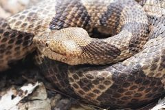 Northern Copperhead venomous pit viper found in Eastern North America. Northern Copperhead, Agkistrodon contortrix is a venomous pit viper found in Eastern North royalty free stock photos
