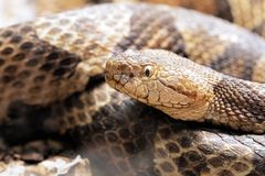 Northern Copperhead venomous pit viper found in Eastern North America. Northern Copperhead, Agkistrodon contortrix is a venomous pit viper found in Eastern North royalty free stock images