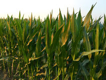 Northern corn leaf blight of maize & x28;Helminthosporium or Turcicum& x29; i. N field Stock Image