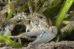 Northern crayfish underwater in the St. Lawrence river royalty free stock images