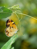 Northern Crecent Butterfly on vine with copy space Stock Photography