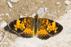 Northern Crescent Butterfly Royalty Free Stock Photography