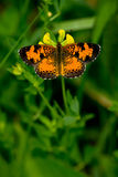 Northern Crescent Butterfly Stock Photography