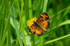 Northern Crescent Butterfly - Phyciodes cocyta Stock Photo