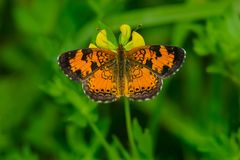 Northern Crescent Butterfly - Phyciodes cocyta. Northern Crescent Butterfly perched on a yellow flower. Luther Marsh Wildlife Management Area, Grand Valley stock photos
