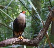 Northern crested caracara (Caracara cheriway) Stock Photo