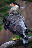 Northern crested caracara (Caracara cheriway). Royalty Free Stock Images