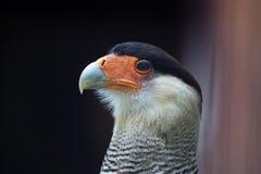 Northern crested caracara (Caracara cheriway). Stock Images