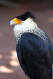 Northern Crested Caracara Royalty Free Stock Images